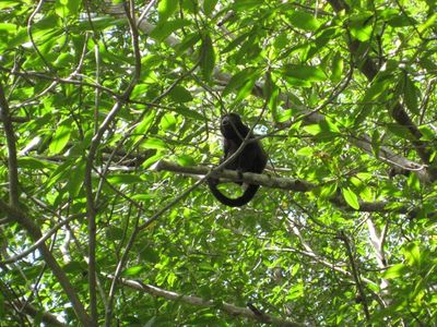 One of our neighbors, The Howler Monkey