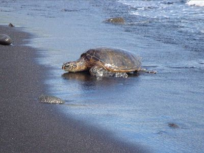 Turtle nesting on Black Sand Beach