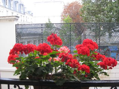 Geraniums in our window boxes