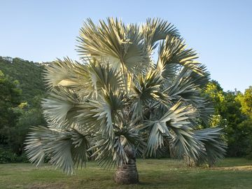 The blue Bismarckia Palm