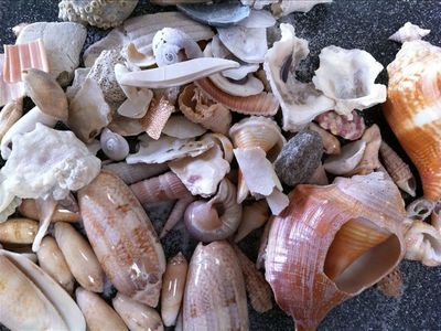 Shell collection from our morning walk 1 day on Islander beach-dig for treasure
