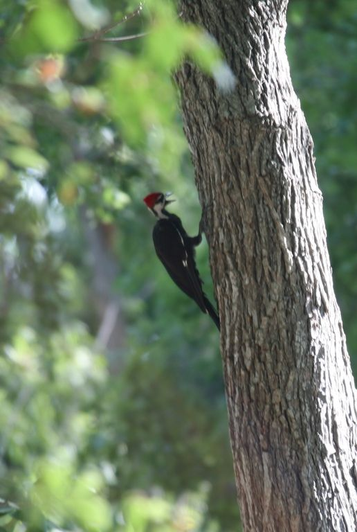 A rare visit from a large Pileated Woodpecker was a pleasant surprise recently