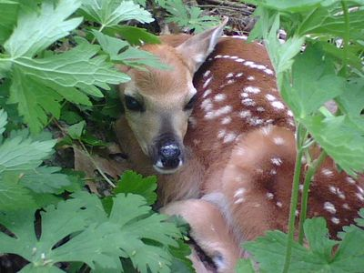 Fawn found during morel hunting at Indian Springs. Photo by Marty Vrstal.