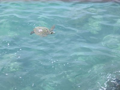 Puako green sea turtles!