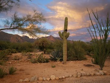 Tucson house rental - Iconic, stately Saguaro in the front yard with spectacular sunset mountain view.