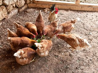Zejtun villa photo - Chicken loft for fresh eggs daily