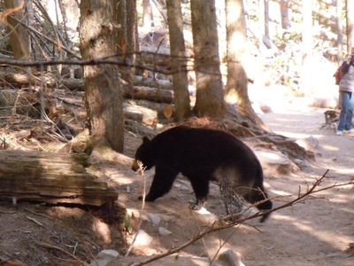 Bear on Avalanche Lake Trail, Glacier National Park