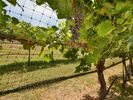 Vineyard - Take a stroll through the vineyard and enjoy the beautiful rows of vines and grapes.