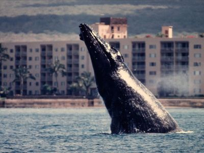 Lucky photo shot by kayaker of breaching whale in front of our building