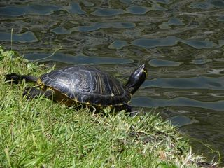 Palmetto Dunes condo photo - A family of turtles live on the property. They sun themselves near the pond.