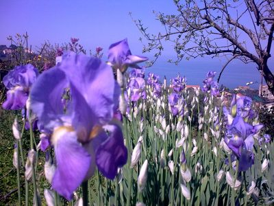 Iris at the end of April