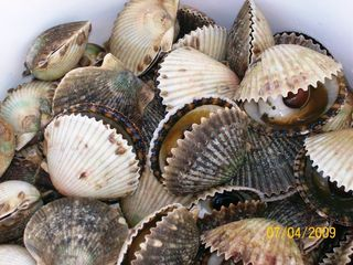 Steinhatchee cabin photo - Scalloping 2009 - It Was Great!!