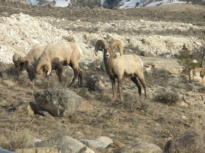 Big Horn Sheep close to cabins