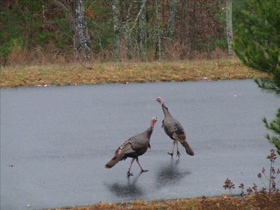 The turkeys are see frequently from the deck at Flatlanders Peak