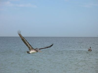 A pelican fishes just off shore