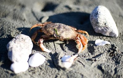 Many species of Crabs call Rathtrevor Beach Home