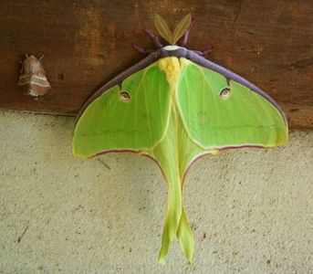 A spectacular Luna Moth visiting the cabin one summer morning.
