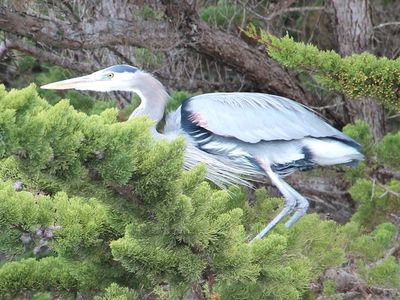 Great blue herons, other wildlife abound in our front yard at the Whitney House