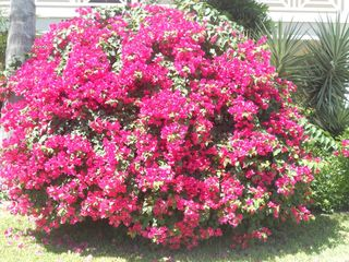 Providenciales - Provo condo photo - Lovely bouganvillea bush
