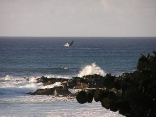 Whale jumping, often spotted during winter season