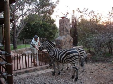 Zebras entertaining guests