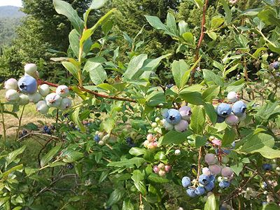 40 feet of blueberry bushes just outside the front door. Season: Mid-July - Aug