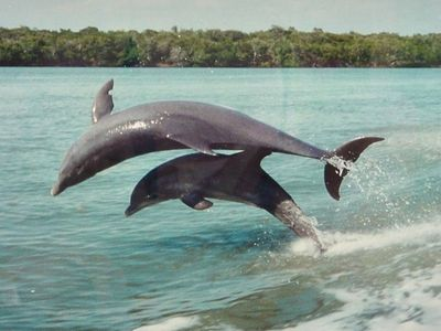 Jumping Dolphins in the Gulf