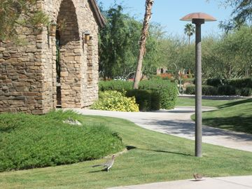 A Roadrunner @ the community clubhouse grounds. (look left of pole on the grass)