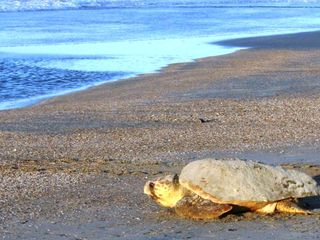 Folly is a nesting ground for turtles! - Folly Beach condo vacation rental photo