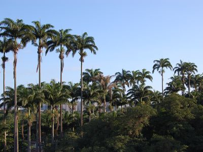 OFFICE VIEW, IMPERIAL PALMS TREE OF JARDIM BOTANICO