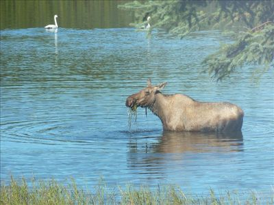 Moose eating grass from the bottom of the Moose River, Swans in the background.