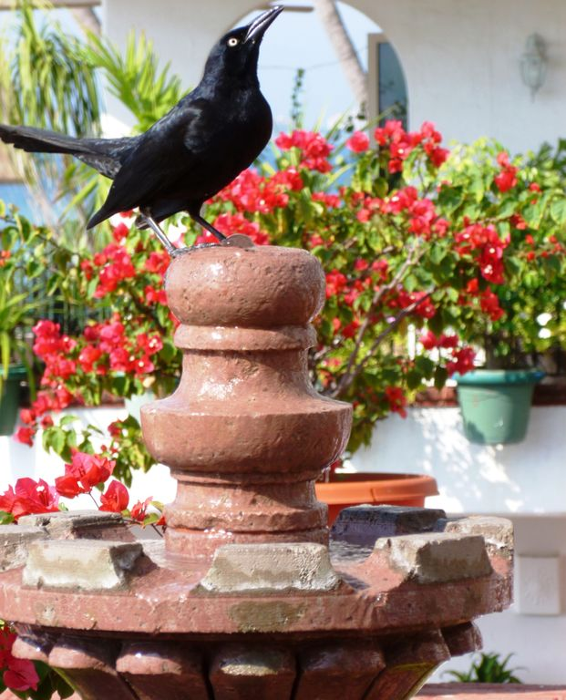 Blackbird and fountain on pool deck