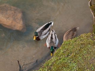 Pigeon Forge chalet photo - Ducks on River