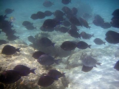 Schools of fish, snorkeling right off the beach!