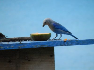 Blue Gray Tanager at the bird feeder