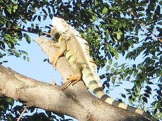 Culebra house photo - A local in our trees