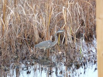 A blue heron nests behind the cottage