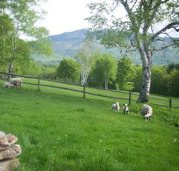 Ascutney farmhouse photo - Spring lambs on the lawn