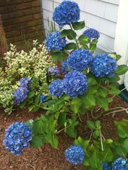 Wellfleet house photo - Hydrangea in front yard