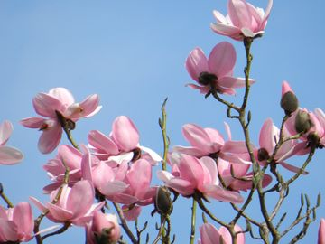 The magnolia in the gardens at Corsewall Estate