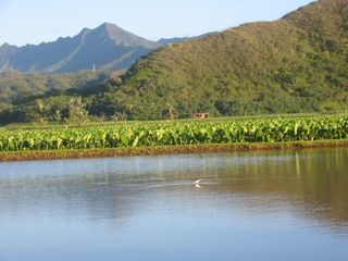 Princeville condo photo - Hanalei river with taro fields