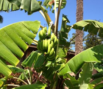 Honokowai condo rental - Bananas are growing on our banana tree...next to the lanai.