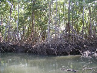 "Playa Azul condo photo - ""Walking stick"" trees on river cruise near Nosara"