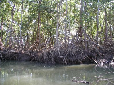 Walking stick trees on river cruise near Nosara