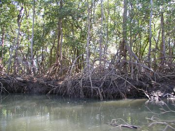 """Walking stick"" trees on river cruise near Nosara"