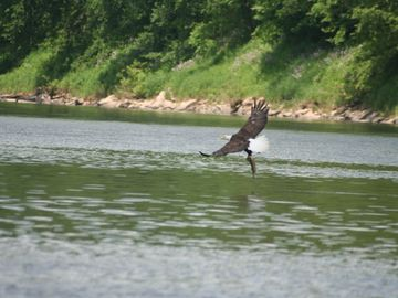 Bald Eagle Catching A Fish On Delaware River