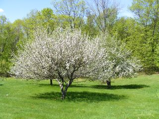 Alton farmhouse photo - Surround your senses with beautiful apple blossoms and aromatic lilacs.