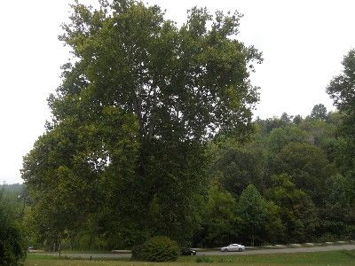 Largest sycamore in the state in our front yard