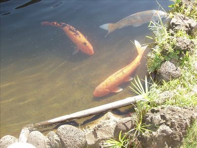 Fish in the Coy pond