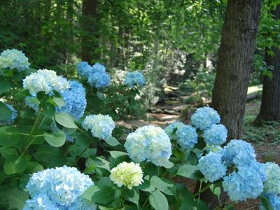 Hydrangeas in bloom in garden.